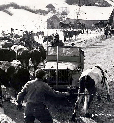 willys jeep and cattle